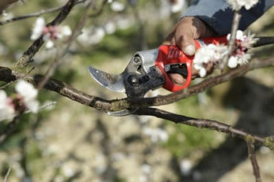 pruning-apricot-trees