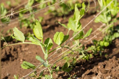 string-peas