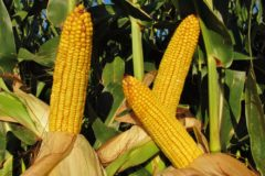 when-to-harvest-corn