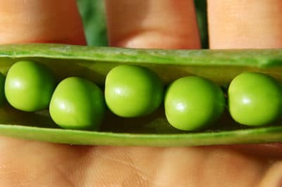 when-to-harvest-peas