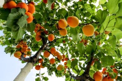 where-do-apricots-grow
