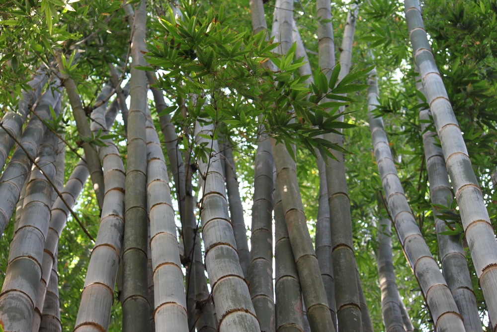 Where Does Bamboo Grow Just About Everywhere