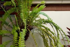 How To Winter Boston Ferns