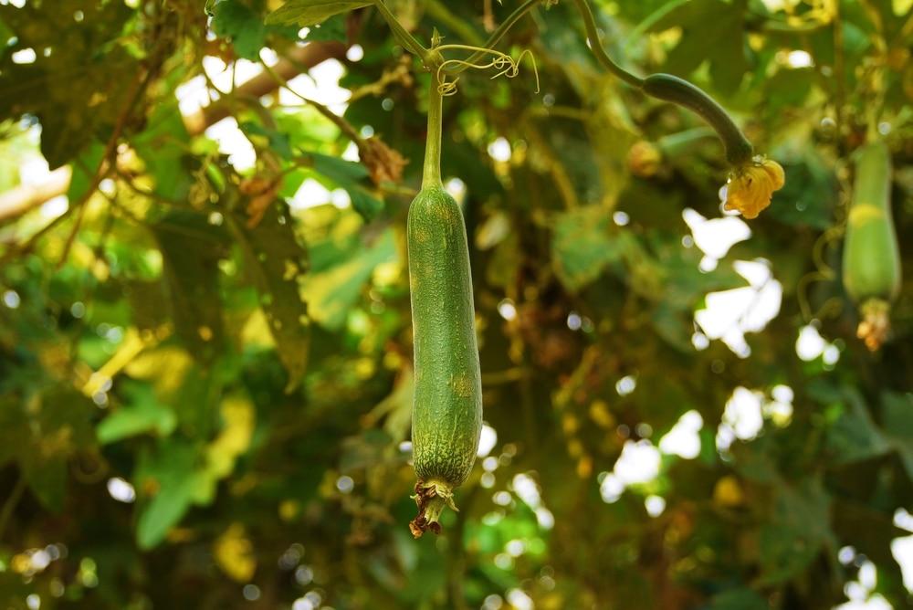 Zucchini Trellis Ideas Part - 37: Zucchini-trellis