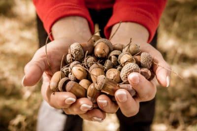 acorn-identification