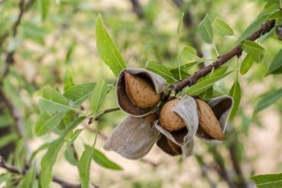 almond-harvesting