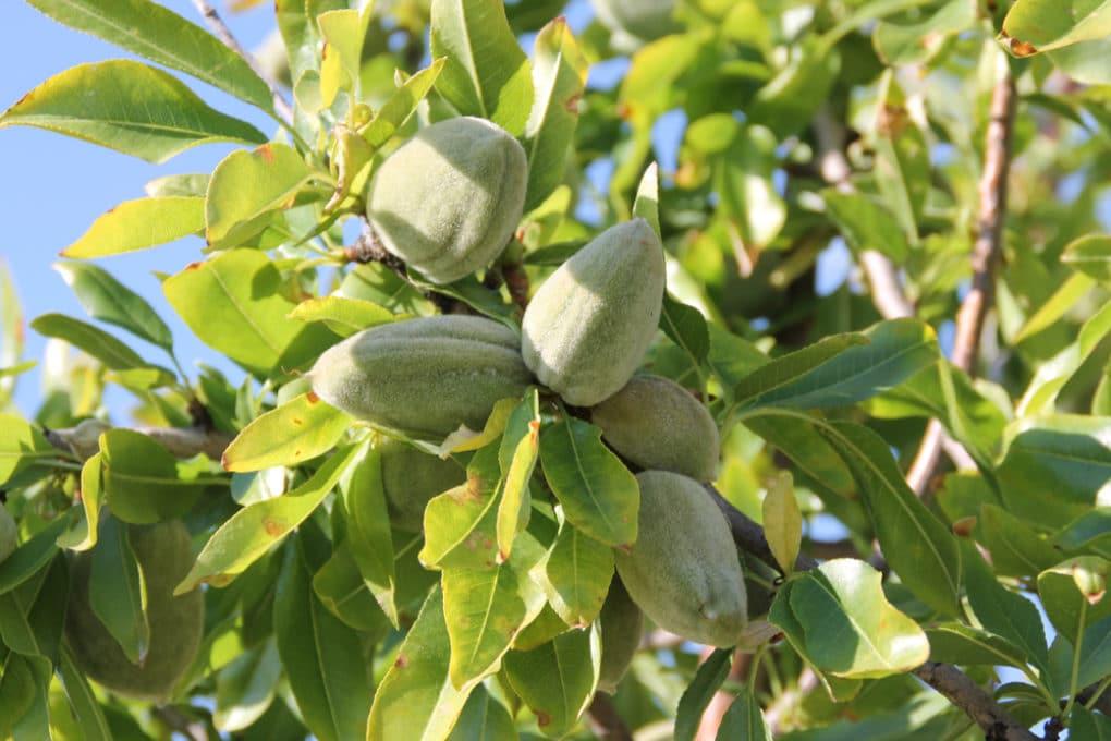 black almond tree removal - 1000×667