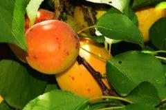 apricot-tree-leaves