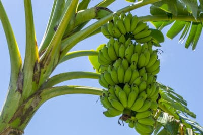bananas-grow-on-trees