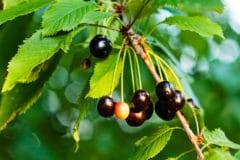 black-cherry-leaf