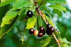 black-cherry-leaf