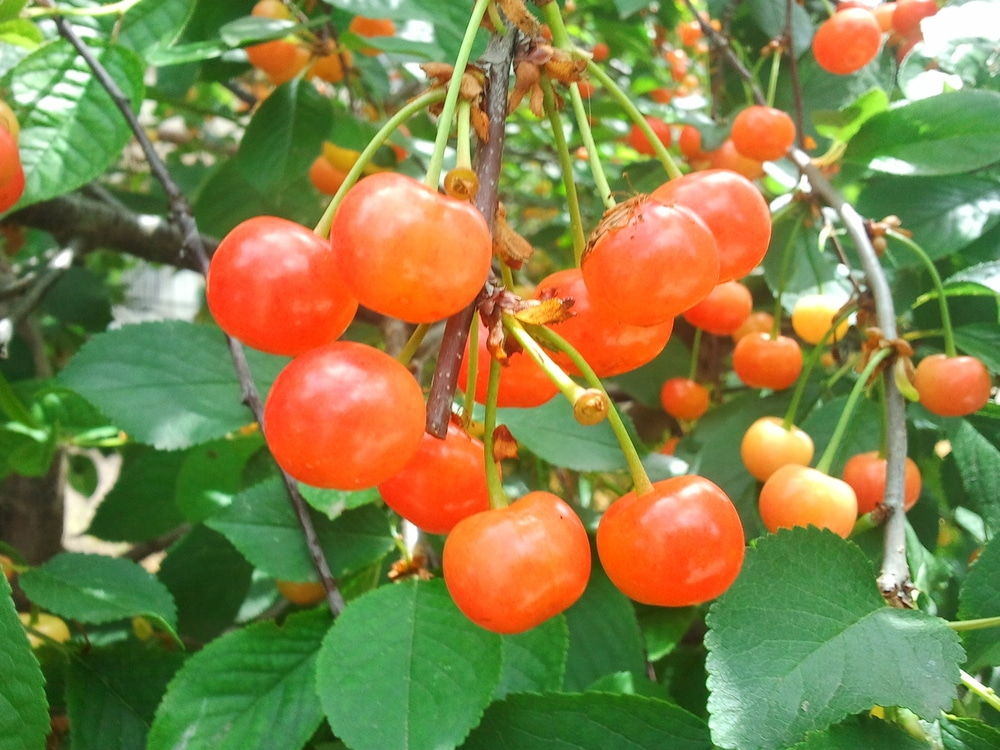 Cherry Tree Care Tips For Healthy Happy Trees