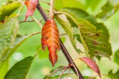 cherry-tree-diseases