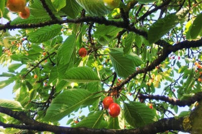 cherry-tree-identification