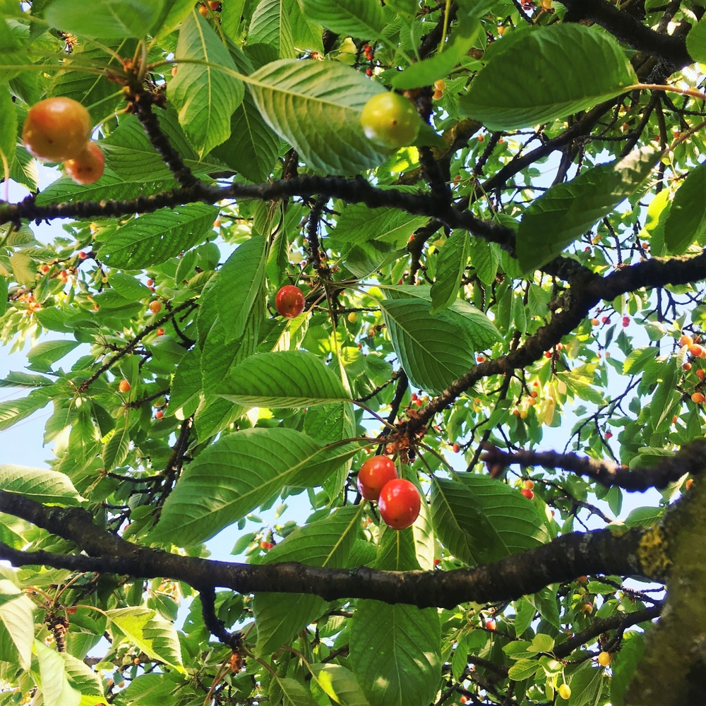 Cherry Tree Identification Tips On The Basics