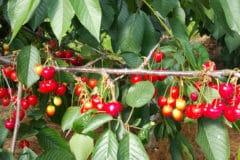 cherry-tree-leaves