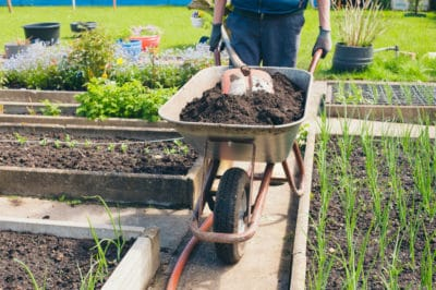 fertilizing-onions