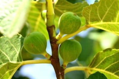 fig-tree-care