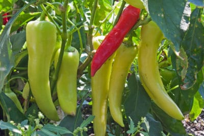 growing-banana-peppers