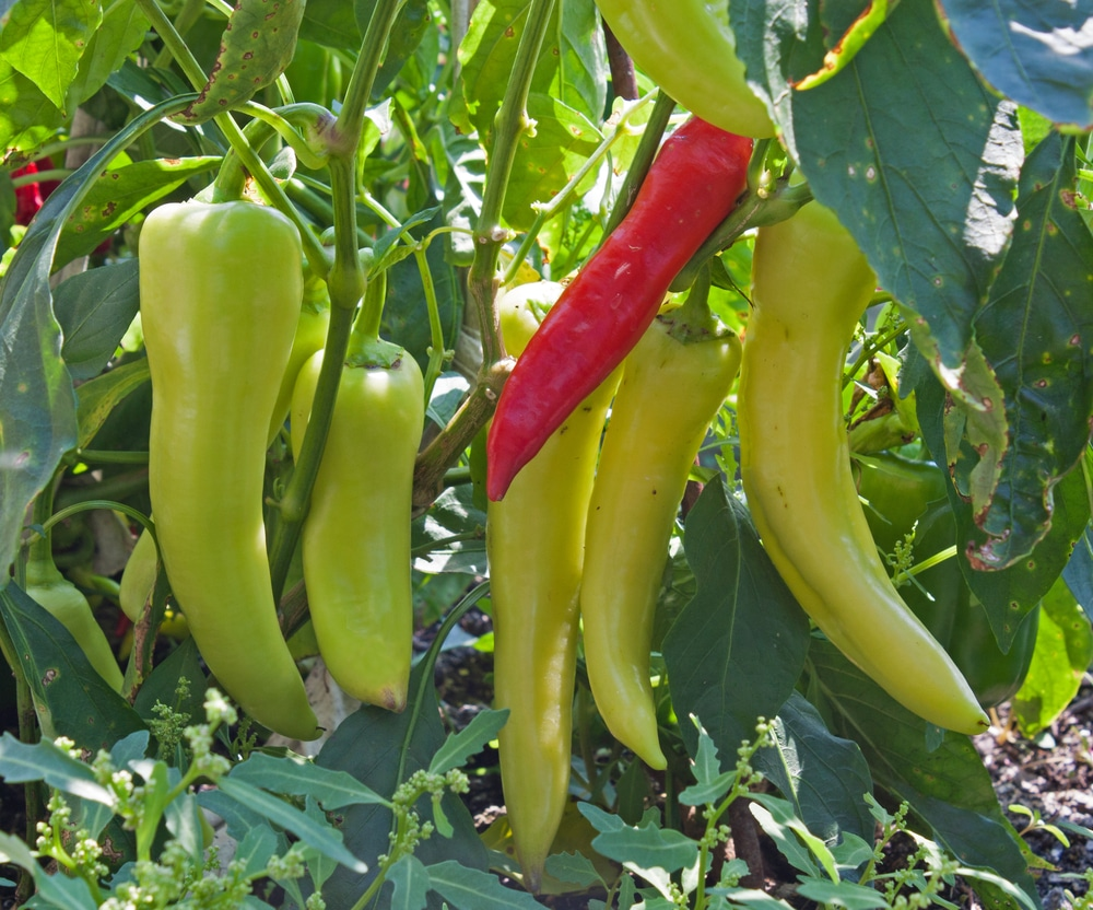 Growing banana peppers like a pro - How to can banana peppers from your garden ...