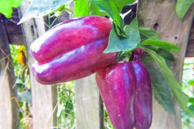 growing-bell-peppers
