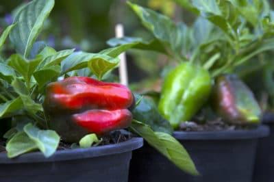 growing-bell-peppers-in-pots