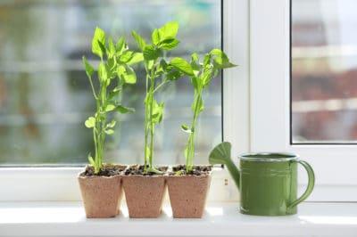 growing-bell-peppers-indoors