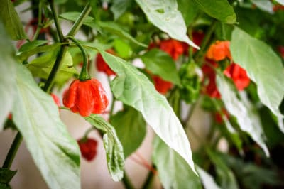 growing-habanero-peppers