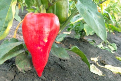 growing-red-peppers