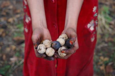harvesting-black-walnuts