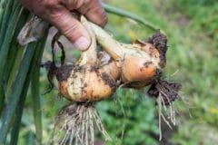 harvesting-onions