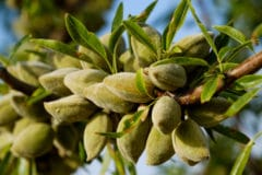 how-do-almonds-grow