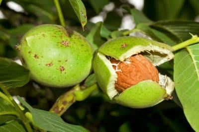 how-do-walnuts-grow
