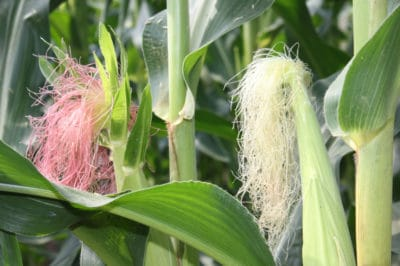 how-does-corn-pollinate