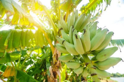 how-long-does-it-take-for-bananas-to-grow