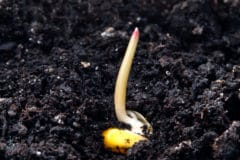 how-long-for-corn-to-germinate