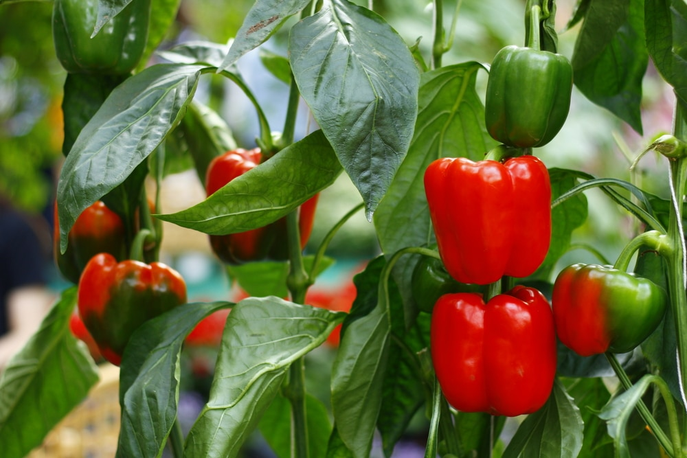 How Many Bell Peppers Per Plant Garden Eco