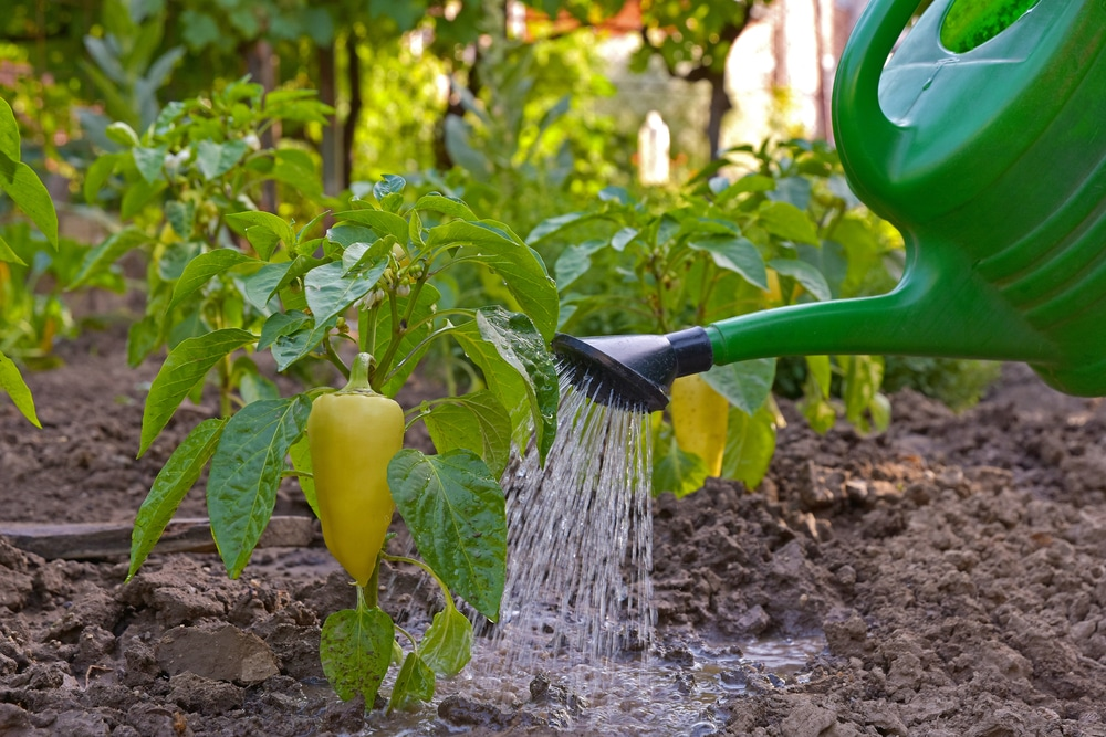 How often to water pepper plants - How often to water vegetable garden ...
