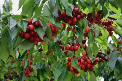 how-to-grow-a-cherry-tree