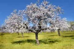 how-to-grow-almonds