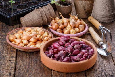 how-to-grow-onions-from-an-onion
