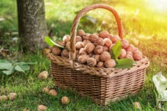 how-to-harvest-walnuts