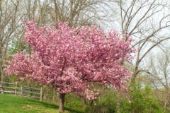 kwanzan-cherry-tree-facts