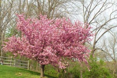 kwanzan-cherry-tree-facts