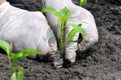 planting-green-peppers