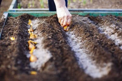 planting-onions-in-the-fall