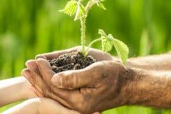 planting-raspberry-canes