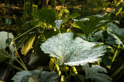 powdery-mildew-on-zucchini-2