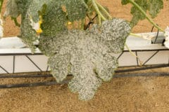 powdery-mildew-on-zucchini