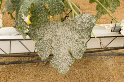 powdery-mildew-on-zucchini